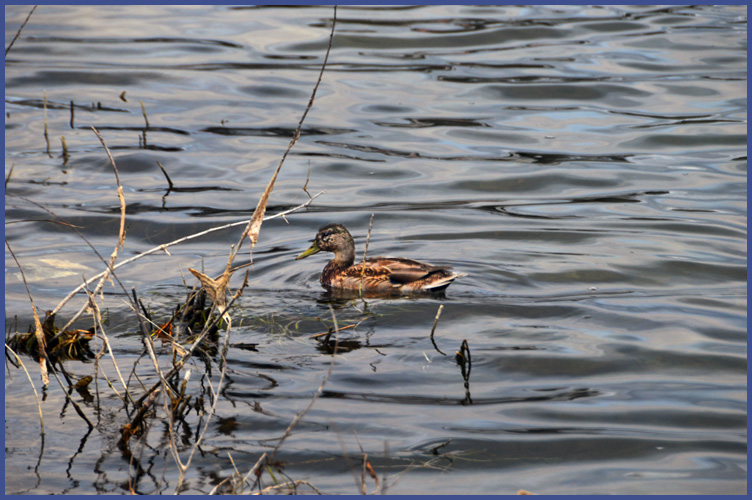 Duck10-14-15