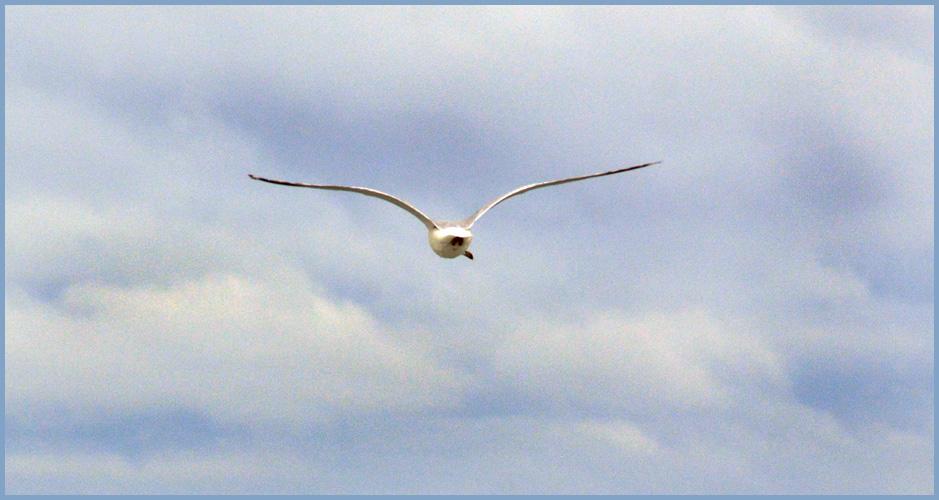 Gull11-1-2015